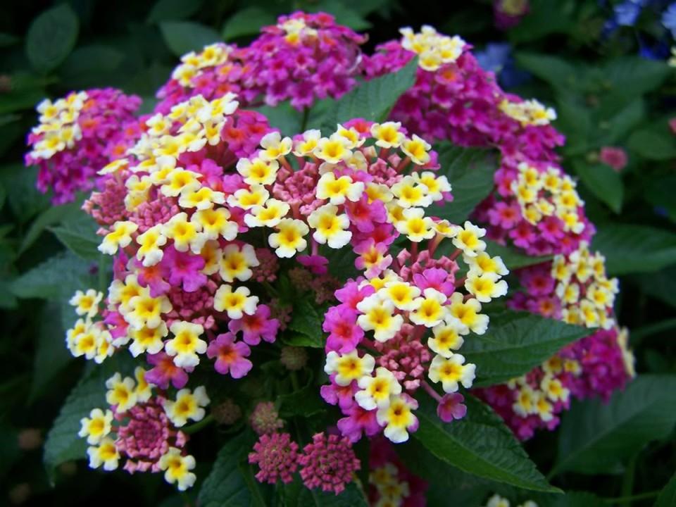 Easy to grow michigan plants like salvia lantanaj s for Small easy to grow plants