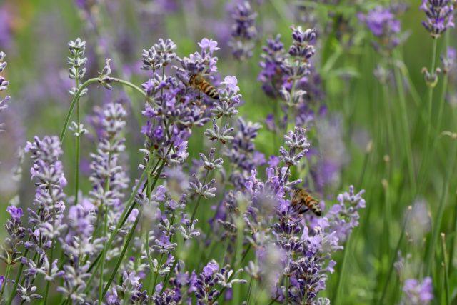 lavendar w/bees