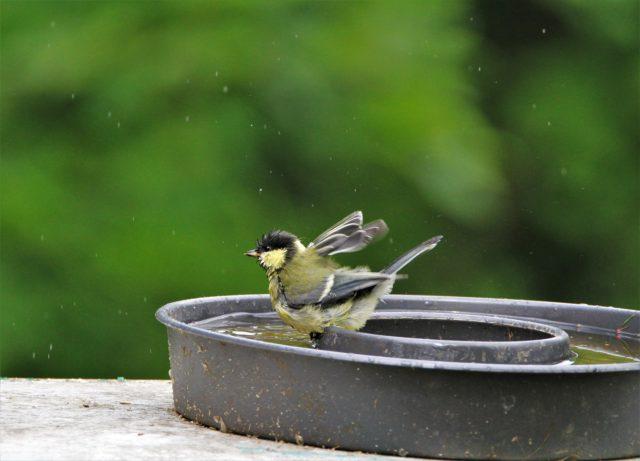 titmouse bird in birdbath